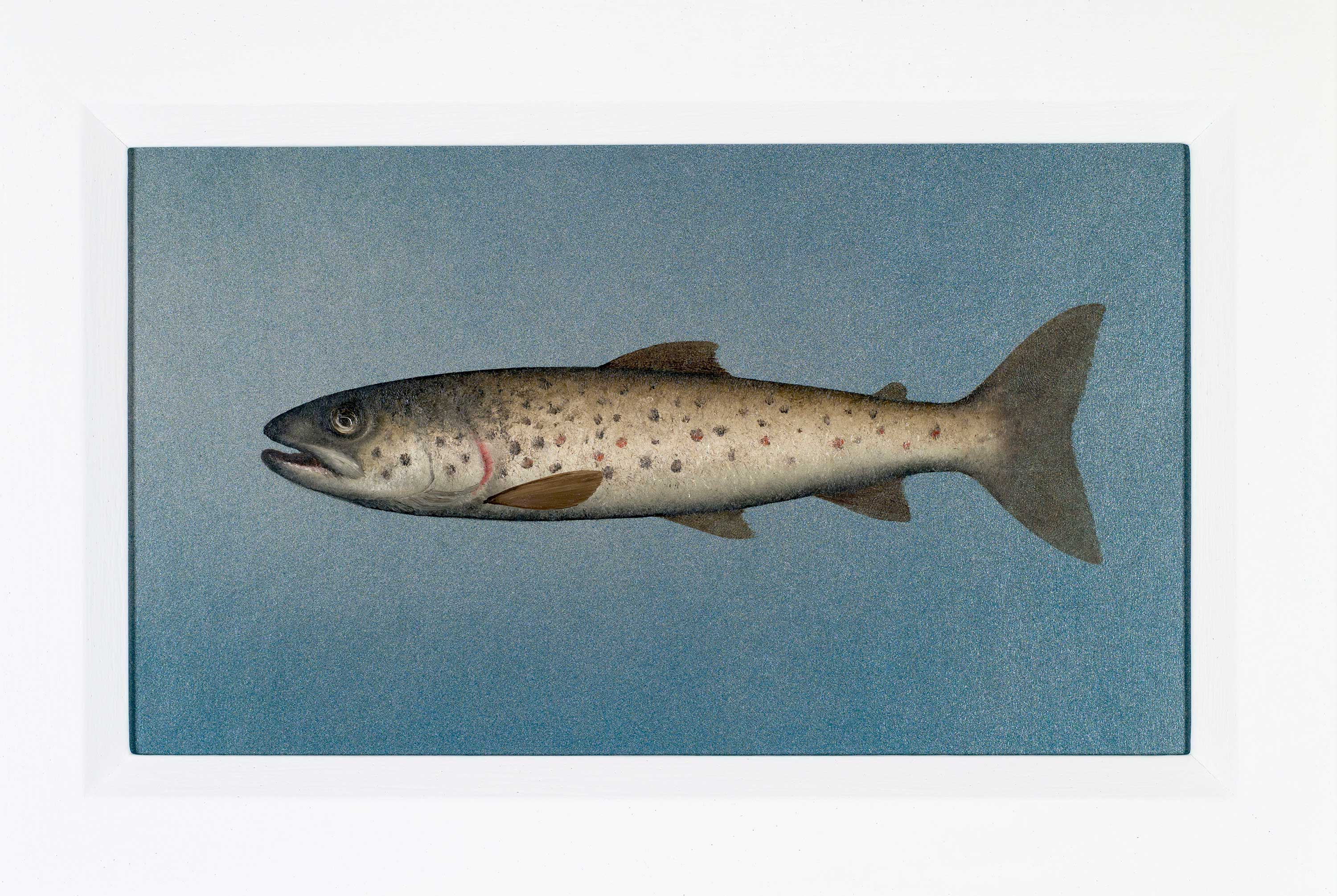 Donald Provan Small Brown Trout
